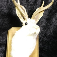 Mounted Jackalope
